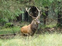 Ostbelgien - Der Hirsch – König unserer Wälder